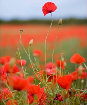 The tall poppy syndrome amazing quotes for you to share and inspire in australia there is a phrase the tall poppy syndrome it describes the condition when a person is uncomfortable if one flower raises its head too far mightylinksfo